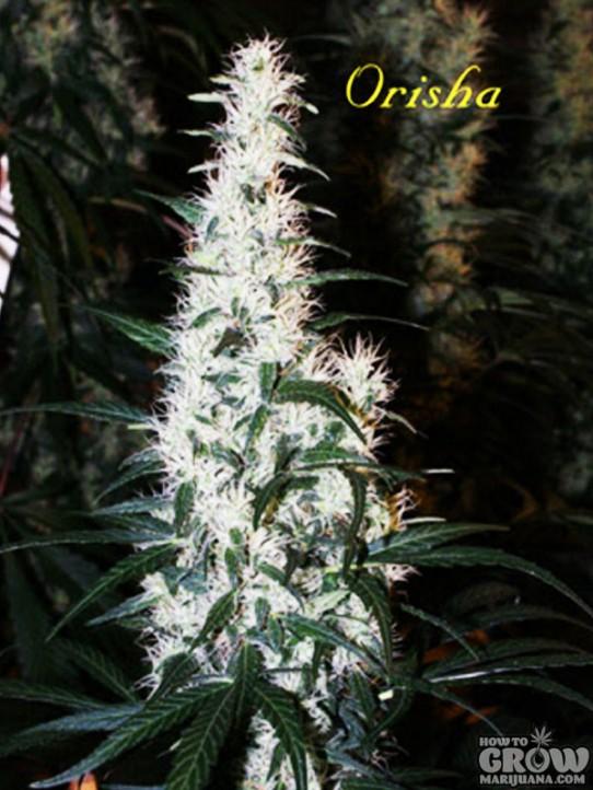 Mandala Orisha Seeds