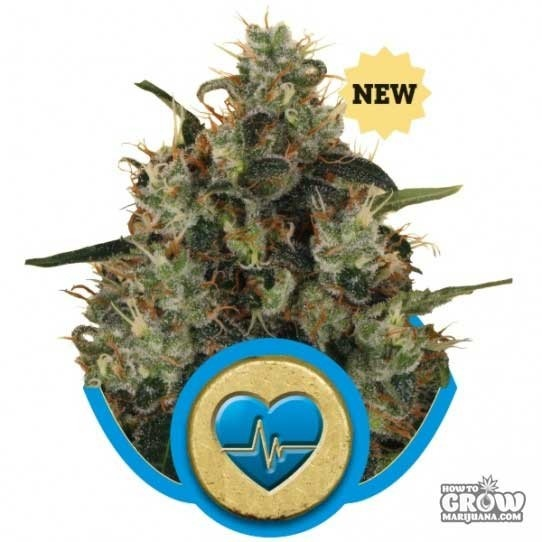 Royal Queen – Medical Mass Seeds