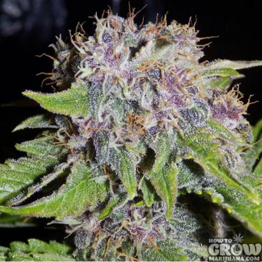 Mephisto Genetics – 24 Carat Autoflowering Feminized Seeds