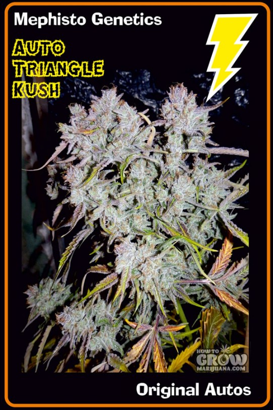 Mephisto Genetics – Auto Triangle Kush Feminized Seeds