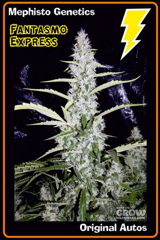 Mephisto Genetics – Fantasmo Express Autoflowering Feminized Seeds
