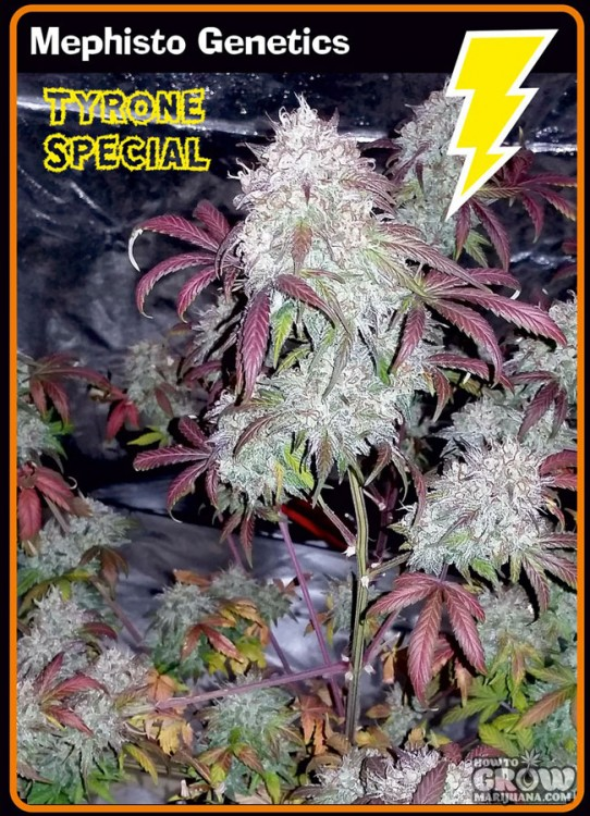 Mephisto Genetics – Tyrone Special Autoflowering Feminized Seeds