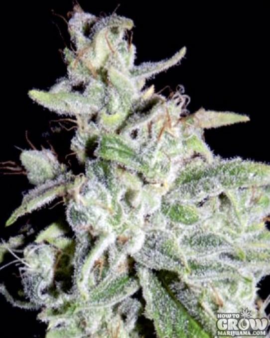 Mephisto Genetics – Walter White Autoflowering Feminized Seeds