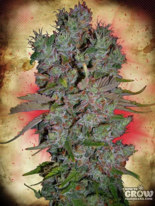 Ministry of Cannabis – Auto Blueberry Domina Autoflowering Feminized Seeds
