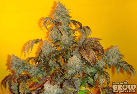 Mosca – Old Time Indiana Bubble Gum Marijuana Seeds