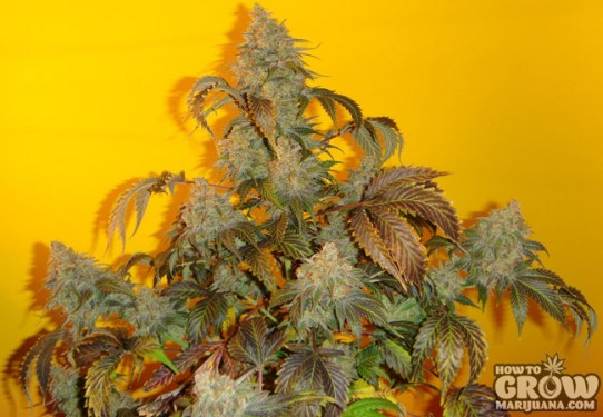 Mosca – Old Time Indiana Bubble Gum Marijuana Seeds