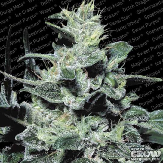 Paradise – Nebula Feminized Marijuana Seeds