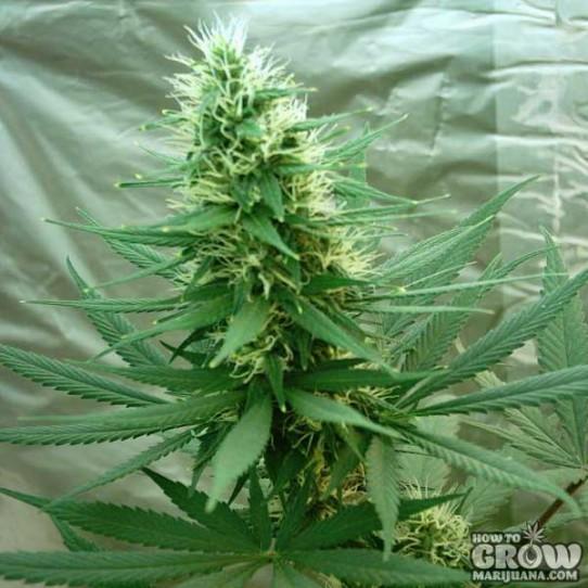 Nirvana – B52 Feminized Cannabis Seeds