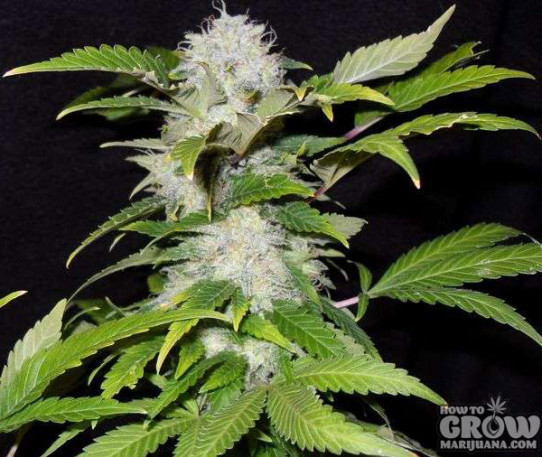Nirvana – Pure Power Plant Feminized Marijuana Seeds