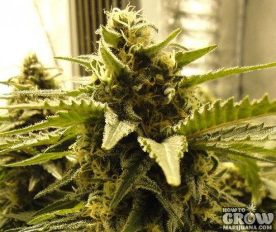 Nirvana – Snow White Feminized Marijuana Seeds