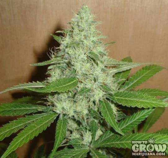 Nirvana – Swiss Miss Feminized Cannabis Seeds