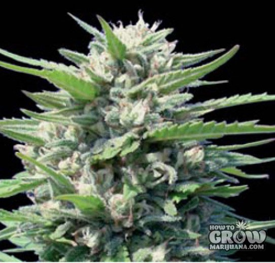 Blimburn Seeds – Northern Automatic Seeds