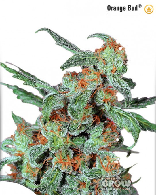 Dutch Passion – Orange Bud® Feminized Seeds