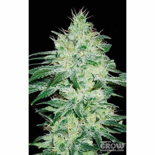 Blimburn – Orient Automatic Seeds