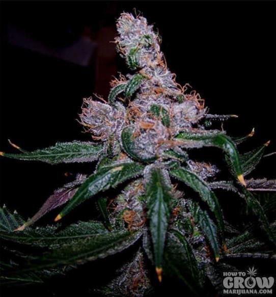 Blueberry Marijuana Seeds – Strain History – Buy Feminized, Autoflowering and Regular