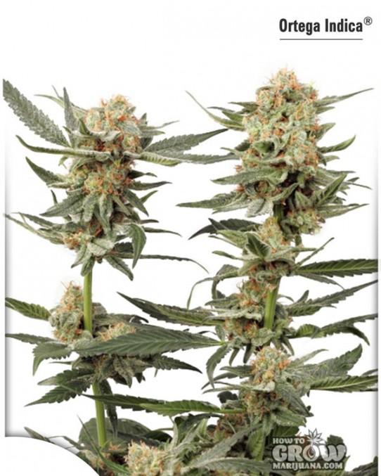 Dutch Passion – Ortega Indica® Feminized  Seeds