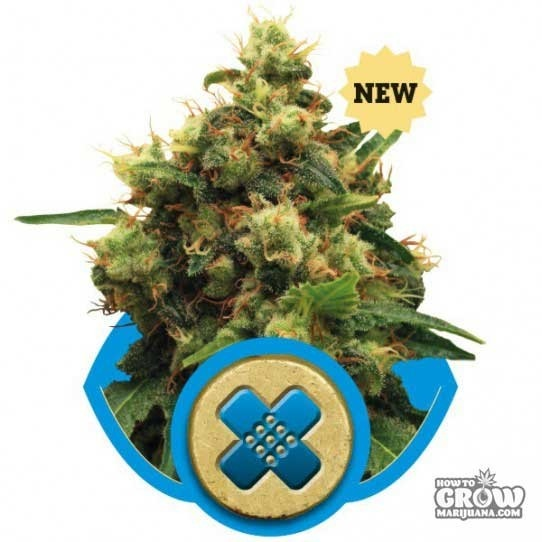 Royal Queen – Painkiller XL Seeds
