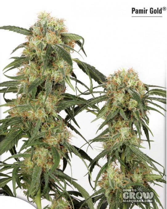 Dutch Passion – Pamir Gold® Feminized Marijuana Seeds