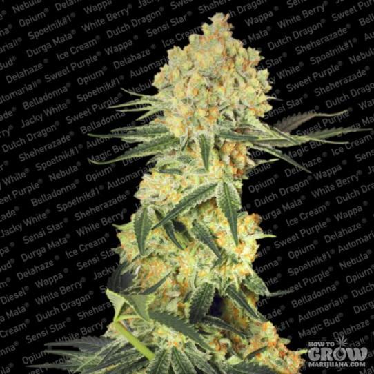 Paradise – Auto Wappa Autoflowering Feminized Seeds