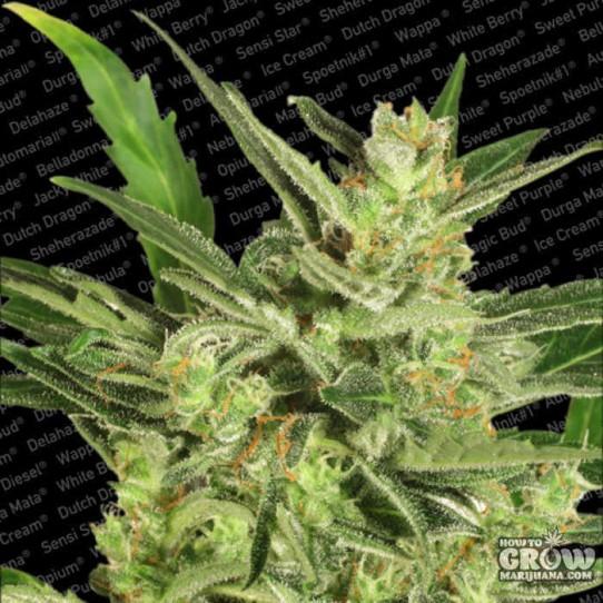 Paradise Seeds – Automaria II  Weed Seeds