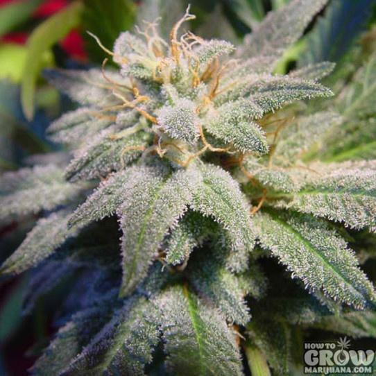 Paradise – Magic Bud Feminized Marijuana Seeds