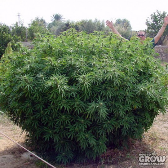 Paradise – Opium Cannabis Seeds