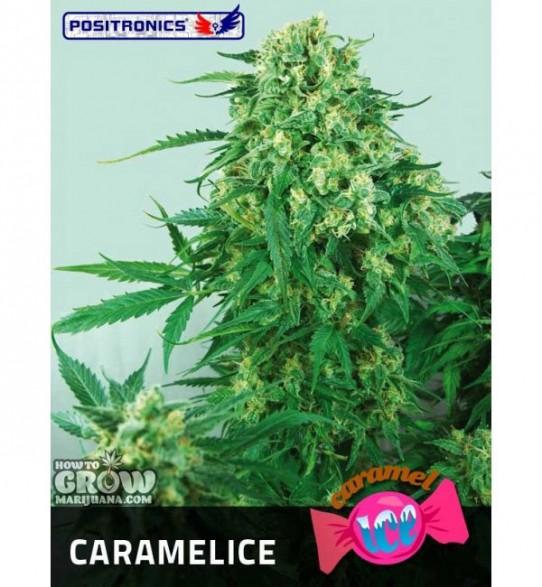Positronics – Caramel Ice Feminized Seeds