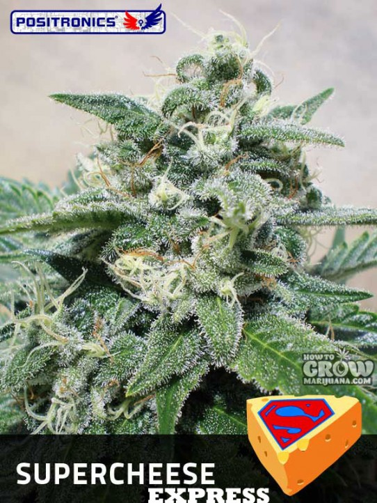 Positronics – Super Cheese Express Autoflowering Feminized Seeds