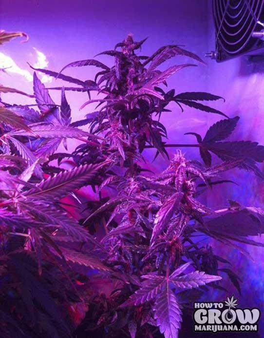 Buddha – Purple Kush Automatic Seeds