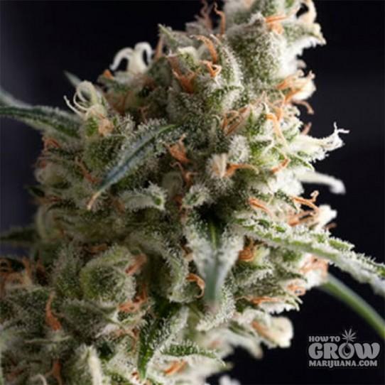 Pyramid – Auto Super Hash Autoflowering Feminised Seeds