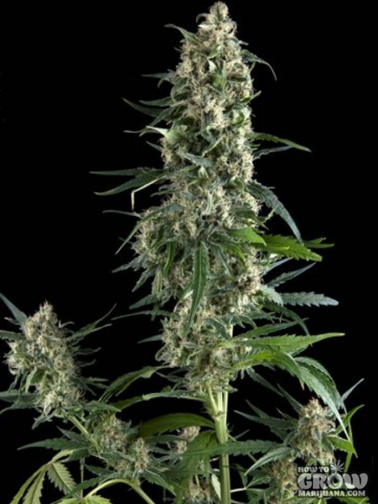 De Vrolijke Gaper – Amnesia Gold Feminized Seeds
