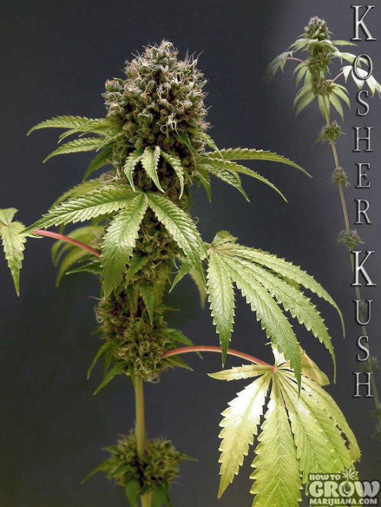 Reserva Privada – Kosher Kush Feminised Seeds