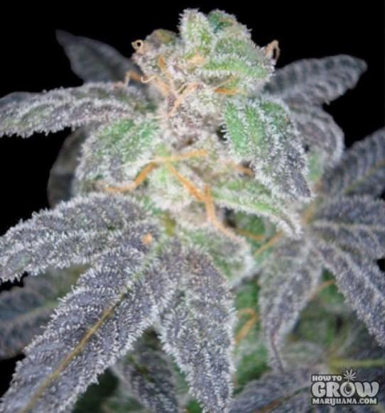 Reserva Privada – Purple OG#18 Feminized Seeds