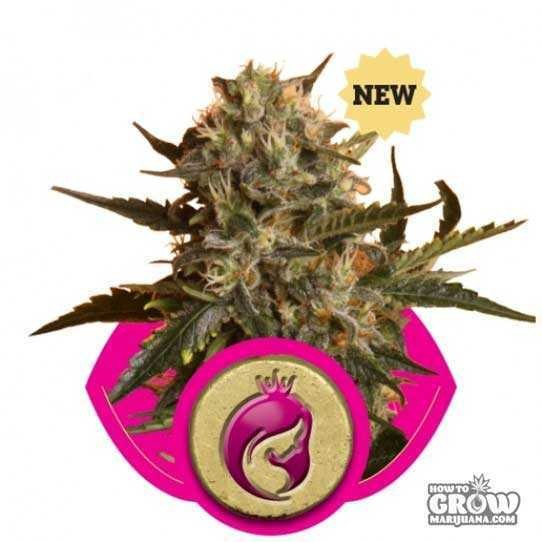 Royal Queen – Royal Madre Seeds