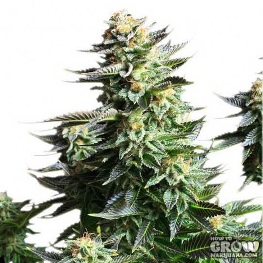 Royal Queen – Amnesia Haze Automatic Seeds