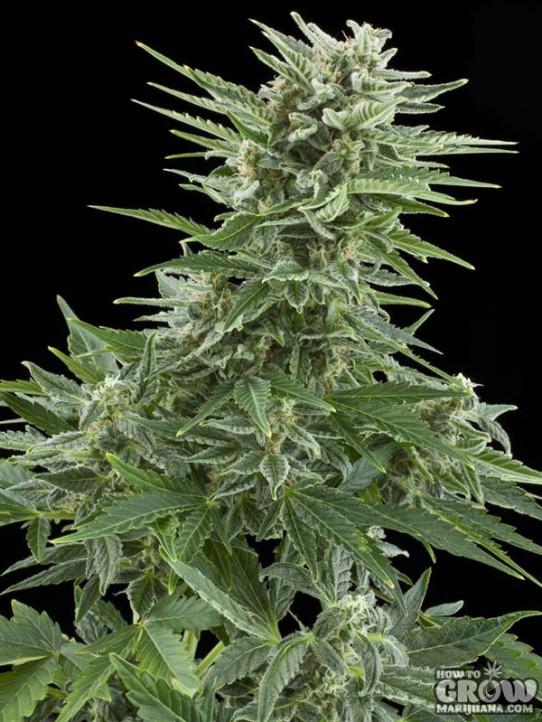 Royal Queen – Easy Bud Autoflowering Feminized Seeds