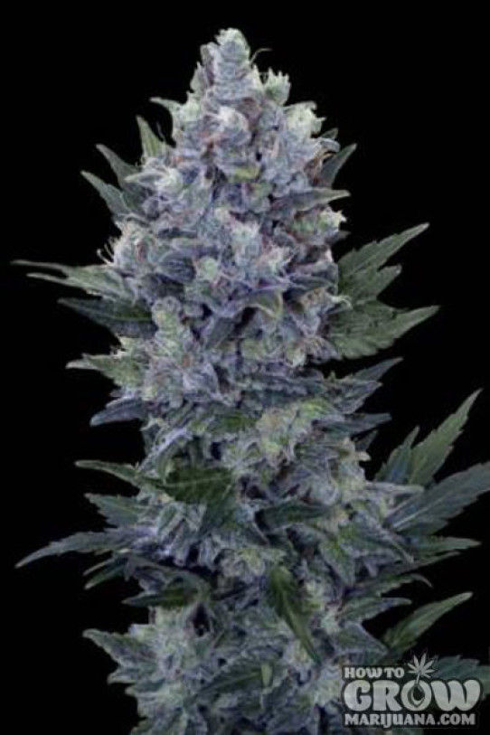 Royal Queen – Northern Light Automatic Feminized Seeds