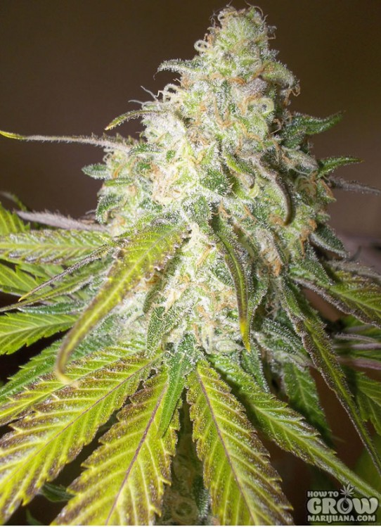 Royal Queen – Sour Diesel Feminized Seeds
