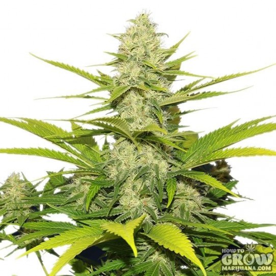Royal Queen – Skunk XL Feminized Seeds