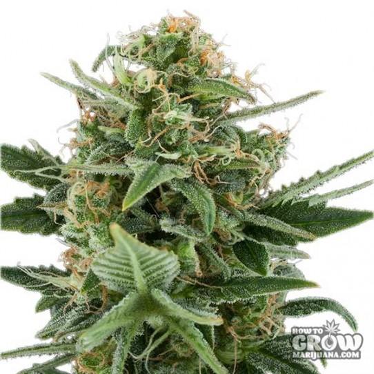 Royal Queen – Royal Dwarf Autoflowering Feminised Seeds