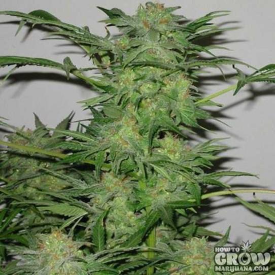 Sagarmatha – AK-48 Autoflowering Feminized Seeds