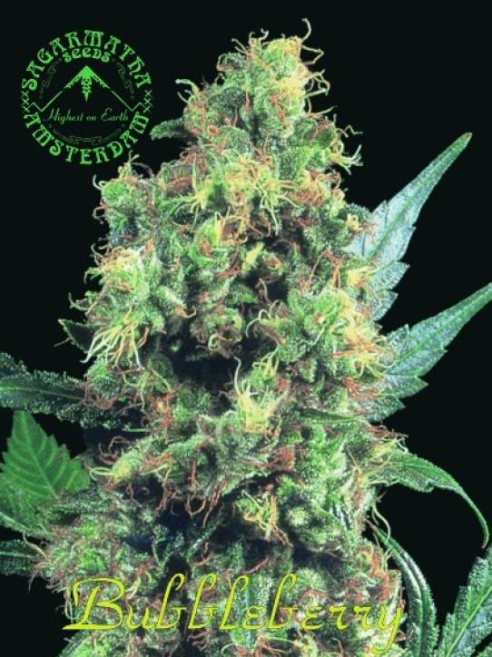 Sagarmatha – Bubbleberry Marijuana Seeds