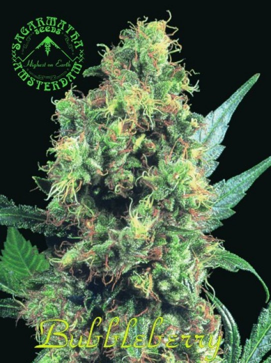 Sagarmatha – Bubbleberry Marijuana Seeds