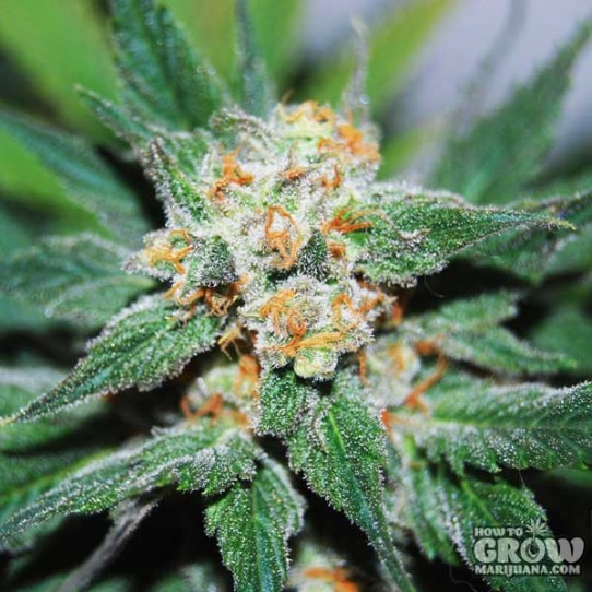 No Mercy – Santa Maria (Planck) Seeds