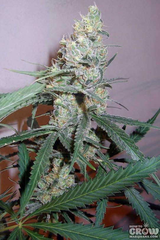 Seedsman – Cindy White Feminized Seeds