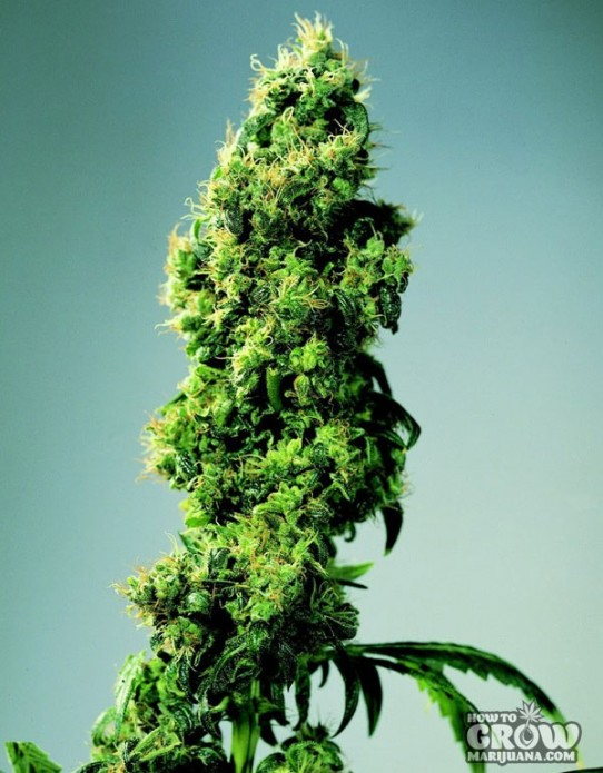 Sensi – Four Way Feminized Marijuana Seeds