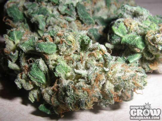 Sensi – Northern Lights #5 X Haze Weed Seeds