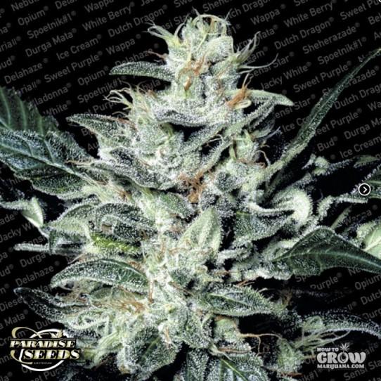 Paradise – Sensi Star Feminized Marijuana Seeds