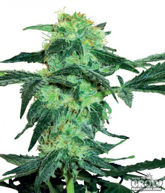 Sensi – White Ice Feminized Marijuana Seeds