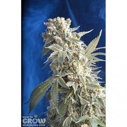 Serious – AK 47 Feminised Marijuana Seeds